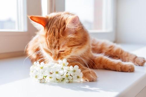 くんくんにおいをかぐ猫