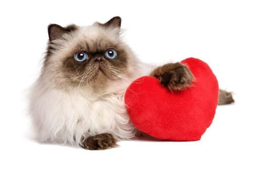 ハートのクッションを抱えているペルシャ猫