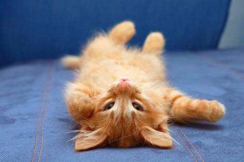 仰向けになってこちらを見る子猫