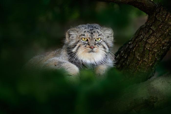 木の上にいるマヌルネコ