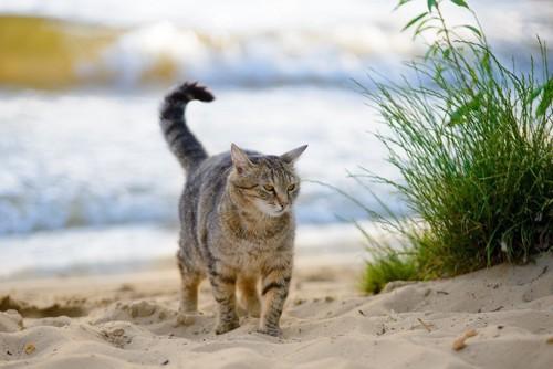 砂浜を歩くキジトラ
