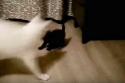 子猫を前に逃げる白猫