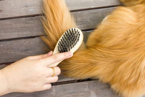 ブラシをかけてもらっているペルシャ猫のしっぽ