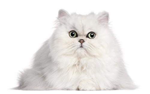 大きな瞳の真っ白なペルシャ猫