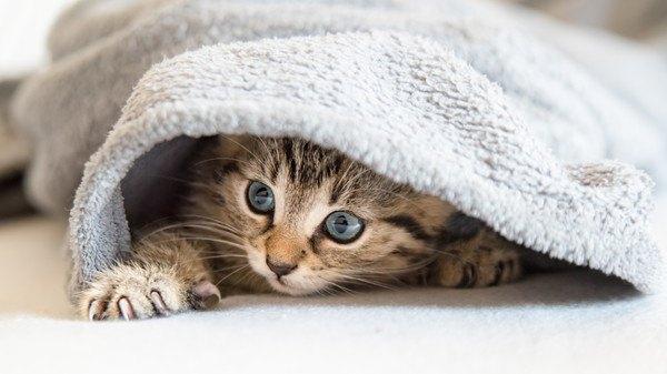 タオルの中から何かを狙っている猫