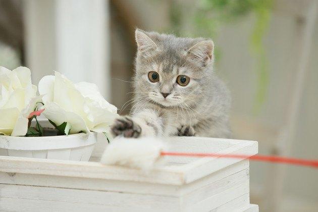 芸人がメロメロになっている遊び中の猫