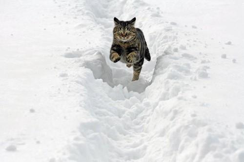 雪の中を走る猫