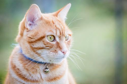 鈴のついた青い首輪をした茶トラ猫