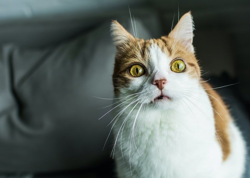こちらを見つめてフレーメン反応中の猫