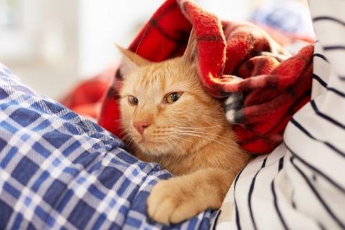 朱の毛布を被るキジトラ