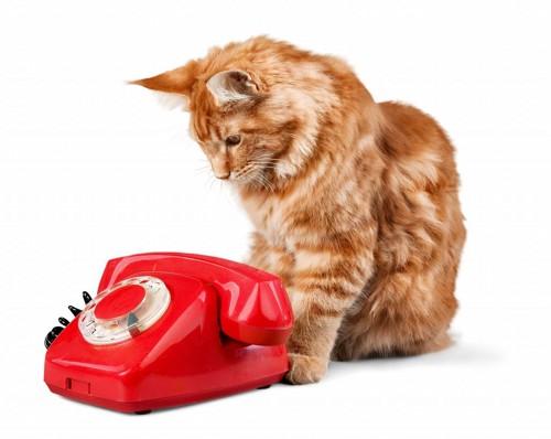 赤い電話を見る猫