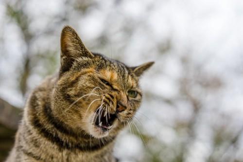 シャーッと鳴く猫