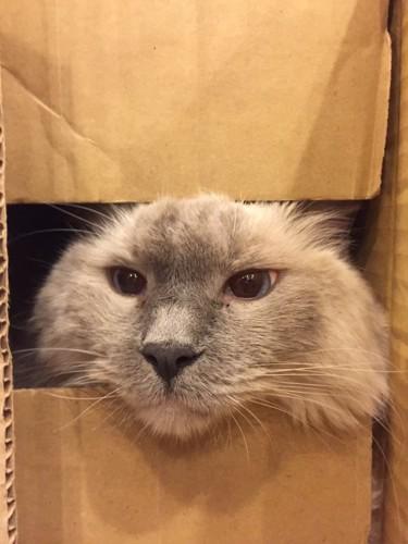 ダンボールから顔を出している猫