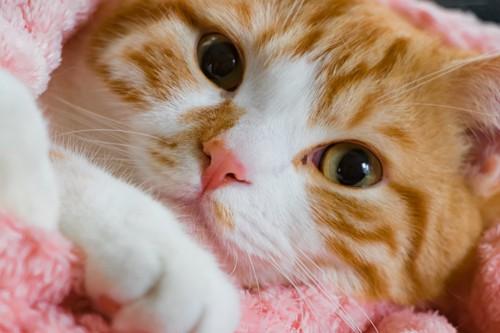 タオルにくるまってこちらを見る猫の顏