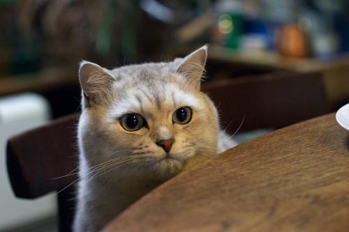 椅子に座ってテーブル越しにこちらを見る猫