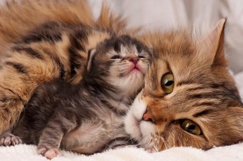 猫の赤ちゃんと母