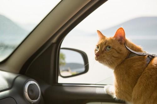 ドライブする猫