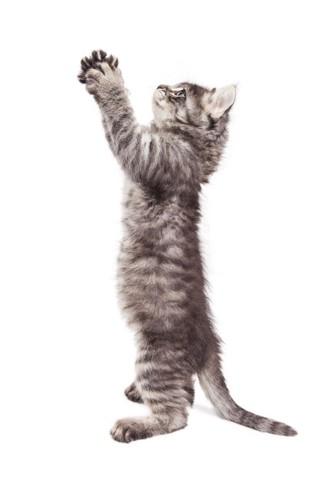 お祈りポーズをする仔猫