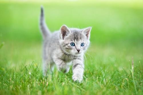 芝生を走る子猫