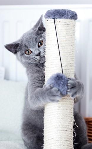 爪とぎで玉を遊ぶ灰色の子猫