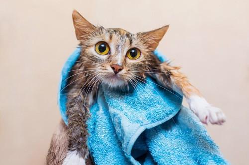 タオルで拭かれている猫