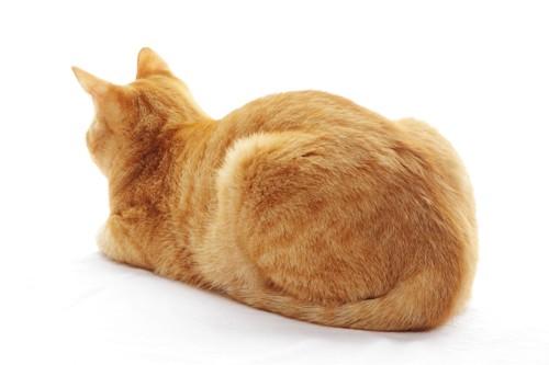 後ろを向いて眠る茶トラ