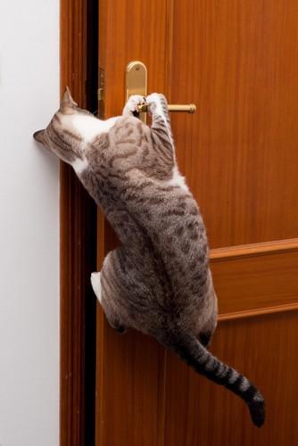 外に出ようとドアのノブに飛びつく子猫