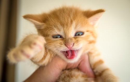 片手で掴まれた仔猫