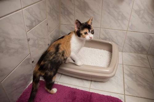 猫トイレの横に立つ三毛猫