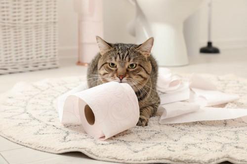 トイレットペーパーを噛む猫