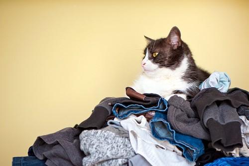 洗濯物の上に居座る猫