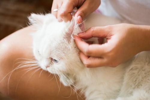 飼い主に耳掃除をされている白猫