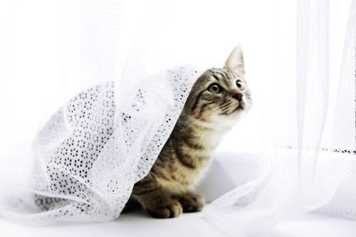 カーテンに潜って遊ぶ猫