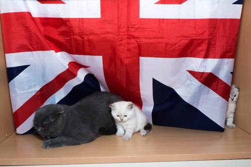 イギリス国旗と猫
