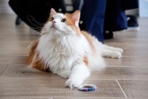 ヘアゴムを前にした猫