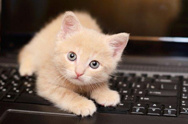 パソコンの上に乗る子猫