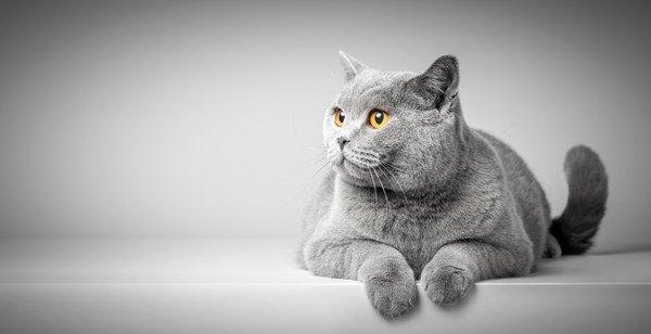 灰色背景の灰色猫