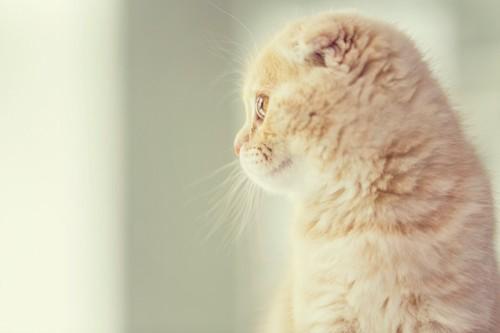 スコティッシュフォールドの子猫の横顔