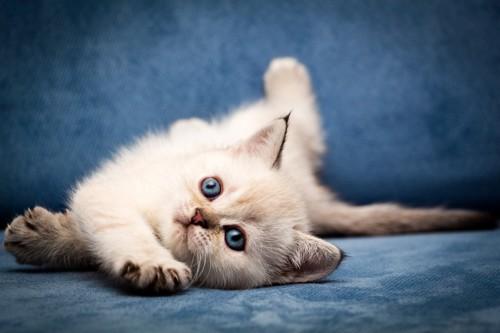 キトンブルーの目をした子猫