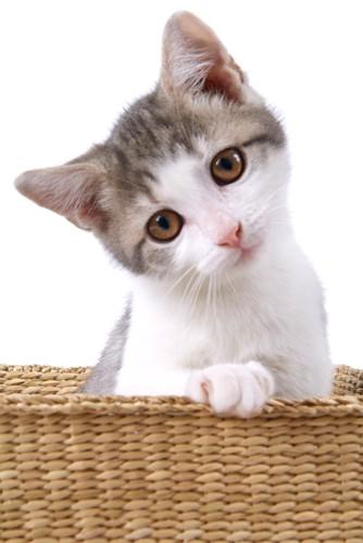 首をかしげるカゴに入った子猫