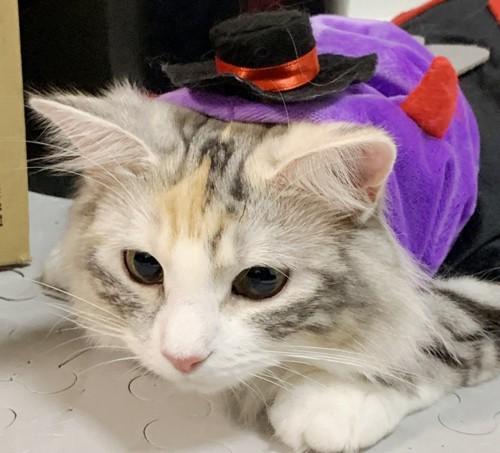 ハロウィン仮装をしているノルウェージャンフォレストキャット