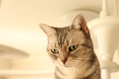 視線を落とす猫