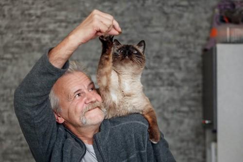 飼い主の肩に乗って手から餌をとろうとする猫