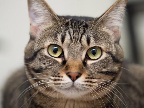 額にMの文字があるキジトラ猫の顔アップ