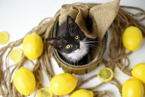 こちらを見上げる猫と周りに置かれたレモン