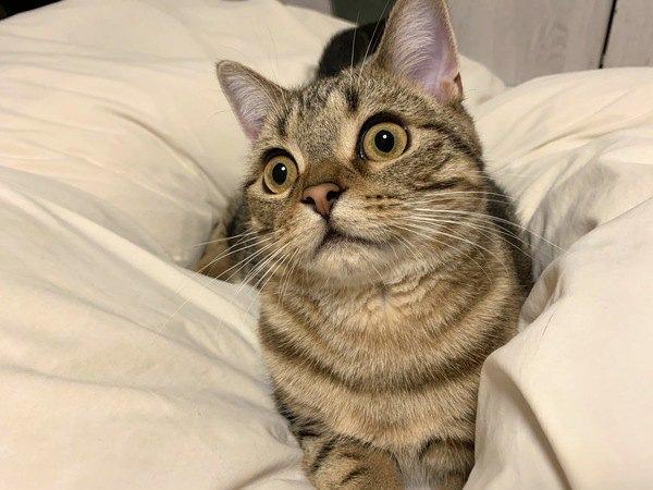 羽毛布団でくつろぐ猫