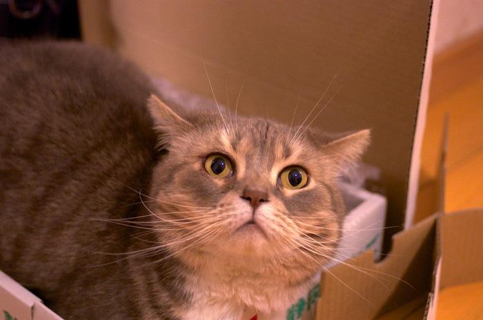 ダンボールの中からこちらを見上げる猫