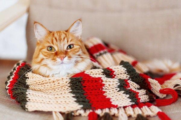 マフラーをかけられる猫