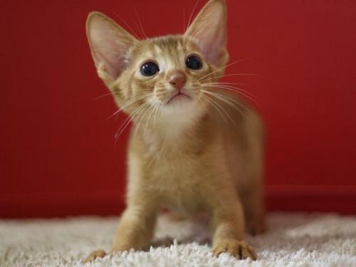 子猫のアビシニアンレッド1