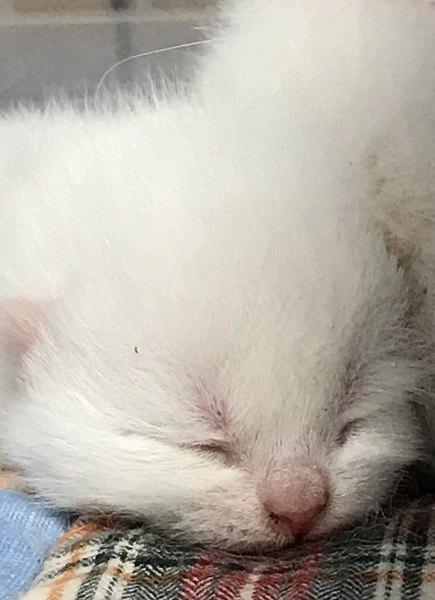 赤ちゃんの白猫の子猫